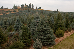 25,000 trees to choose from