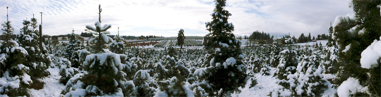 Snow on the trees at Hillside Tree Farm
